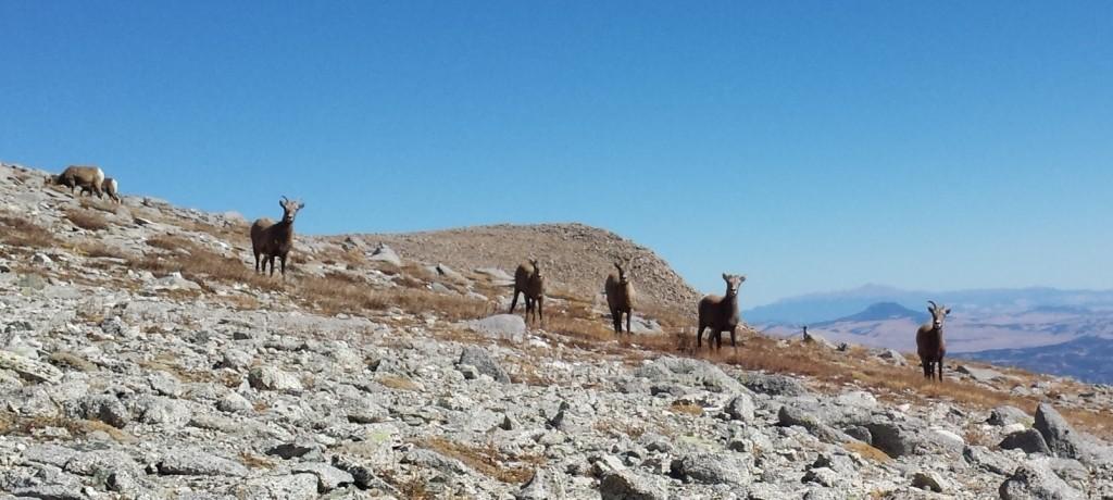 Bighorn Sheep on Mt. Shavano